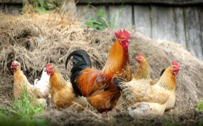 La ferme Gonnegirls : la transmission et pas quand les poules auront des dents !